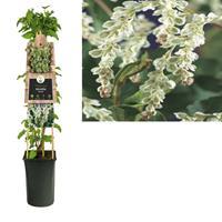 vanderstarre Klimplant Fallopia aubertii 75 cm