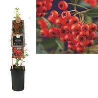 vanderstarre Klimplant Pyracantha c. Red Column 75 cm