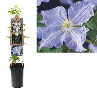 vanderstarre Klimplant Clematis Blue Angel 75 cm