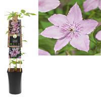 vanderstarre Klimplant Clematis Hagley Hybrid 75 cm