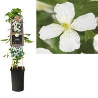 vanderstarre Klimplant Clematis montana Grandiflora 75 cm