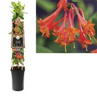 vanderstarre Klimplant Lonicera Dropmore Scarlet 75 cm