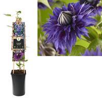 vanderstarre Klimplant Clematis Multi Blue 75 cm