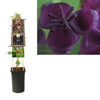 vanderstarre Klimplant Akebia quinata 75 cm