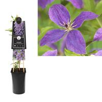vanderstarre Klimplant Clematis So Many Lavender Flowers PBR 75 cm