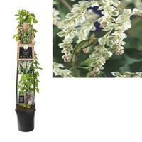 vanderstarre Klimplant Fallopia aubertii 120 cm