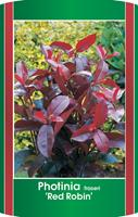 Warentuin Photinia fraseri Red Robin