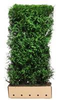 quickhedge Thuja plicata Excelsa 200 cm