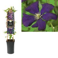 Van der Starre Klimplant Clematis vit. Etoile Violette 75 cm