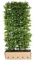 Quickhedge Carpinus betulus 80 cm.
