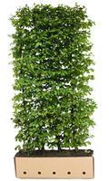 Quickhedge Carpinus betulus 120 cm.