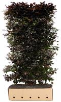 Quickhedge Fagus sylvatica atropunicea 200 cm