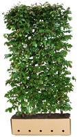 Quickhedge Parrotia persica Vanessa 200 cm