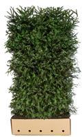 Quickhedge Picea Abies 200 cm