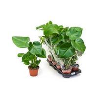 plantenwinkel.nl Monstera deliciosa S gatenplant kamerplant