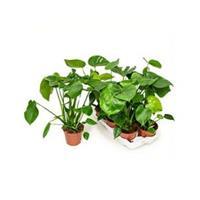 plantenwinkel.nl Monstera deliciosa M gatenplant kamerplant