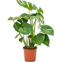 plantenwinkel.nl Monstera deliciosa L gatenplant kamerplant
