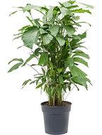 Caryota Mitis 130 cm