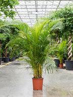 Areca Palm 200 cm (Goudpalm)