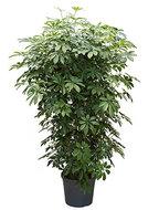 Schefflera Arboricola 140 cm vertakt