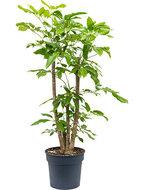 Schefflera amate 140 cm vertakt (Vingersboom)