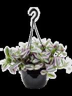 Tradescantia nanouk (hangplant)