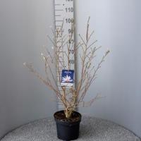 Magnolia struik Loeberni Leonard Messel - 5 stuks