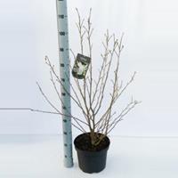 Magnolia struik Loeberni Merrill - 80 - 100 cm - 5 stuks