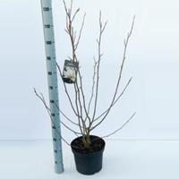Magnolia struik Soulangeana Rickii - 5 stuks