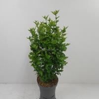 Hibiscus syriacus Woodbridge - 80 cm - 4 stuks
