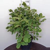 Plantenwinkel.nl Magnolia struik Sieboldii - 60 - 80 cm - 1 stuks