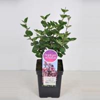 Plantenwinkel.nl Dwergsering (syringa Tinkerbelle) - 40-60 cm - 1 stuks