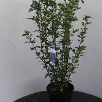 Hibiscus syriacus Marina - 80 - 100 cm - 5 stuks