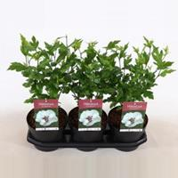 Plantenwinkel.nl Hibiscus syriacus Speciosus - 40 cm - 3 stuks