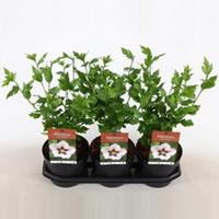 Plantenwinkel.nl Hibiscus syriacus Hamabo - 40 cm - 3 stuks