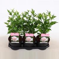 Plantenwinkel.nl Hibiscus syriacus Lady Stanley - 3 stuks