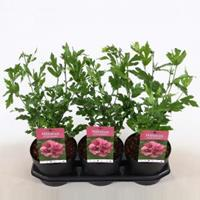 Plantenwinkel.nl Hibiscus syriacus Duc de Brabant - 40 cm - 3 stuks