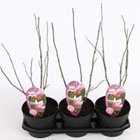 Plantenwinkel.nl Magnolia struik George Henry Kern - 40 - 50 cm - 3 stuks