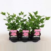 Plantenwinkel.nl Hibiscus syriacus Pink Giant - 3 stuks