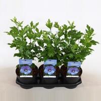 Plantenwinkel.nl Hibiscus syriacus Oliseau Bleu - 40 cm - 3 stuks