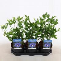 Plantenwinkel.nl Hibiscus syriacus Marina - 30 - 40 cm - 3 stuks