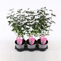 Plantenwinkel.nl Hibiscus syriacus Purple Ruffles - 40 cm - 3 stuks