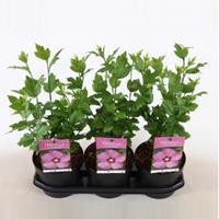 Plantenwinkel.nl Hibiscus syriacus Woodbridge - 40 cm - 3 stuks