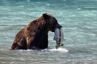 Grizzly Bear Tour vanuit Campbell River