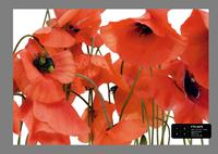 Ag Design Wild Poppies Fotobehang 4D ()