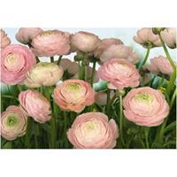 Praxis Fotobehang Gentle rose