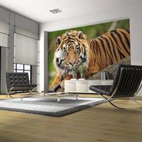 Fotobehang - Sumatraanse tijger , beige bruin