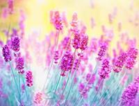 Papermoon Lavendel Bloemen Vlies Fotobehang 350x260cm