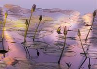 PGM Susan Harris - Lotus Kunstdruk 70x50cm