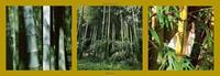PGM Laurent Pinsard - Bambous Kunstdruk 95x33cm